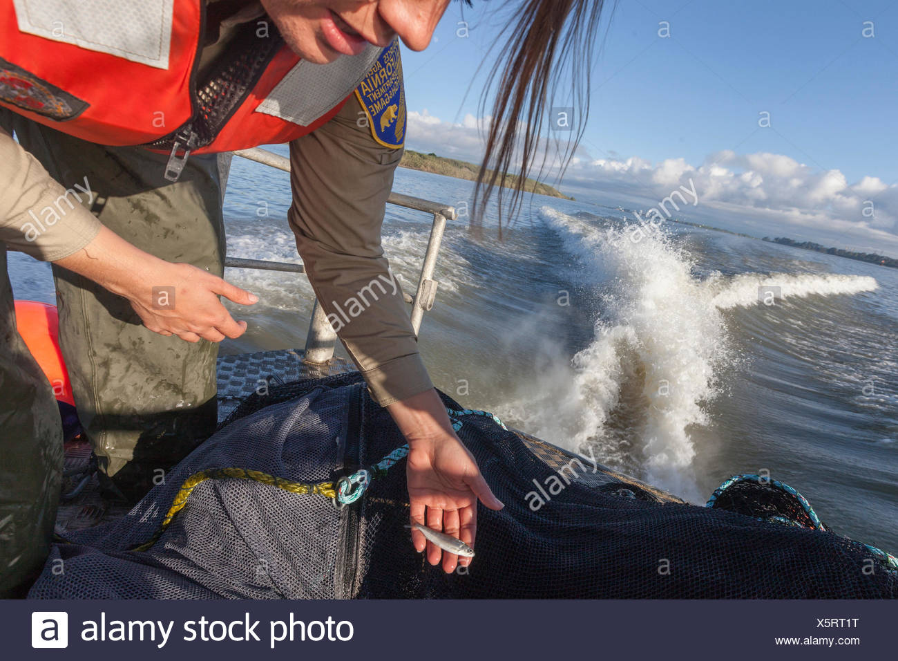 Científico medioambiental lauren damon de california departamento de peces y fauna silvestre, la realización de un muelle de arrastre de Kodiak para delta olía en el delta de California cerca de Antioquía, ca. encontraron un solo adulto. Ayudante es Chelsea Lewis. Aquí no cogieron una pequeña partida de salmón hacia el océano. Foto de stock