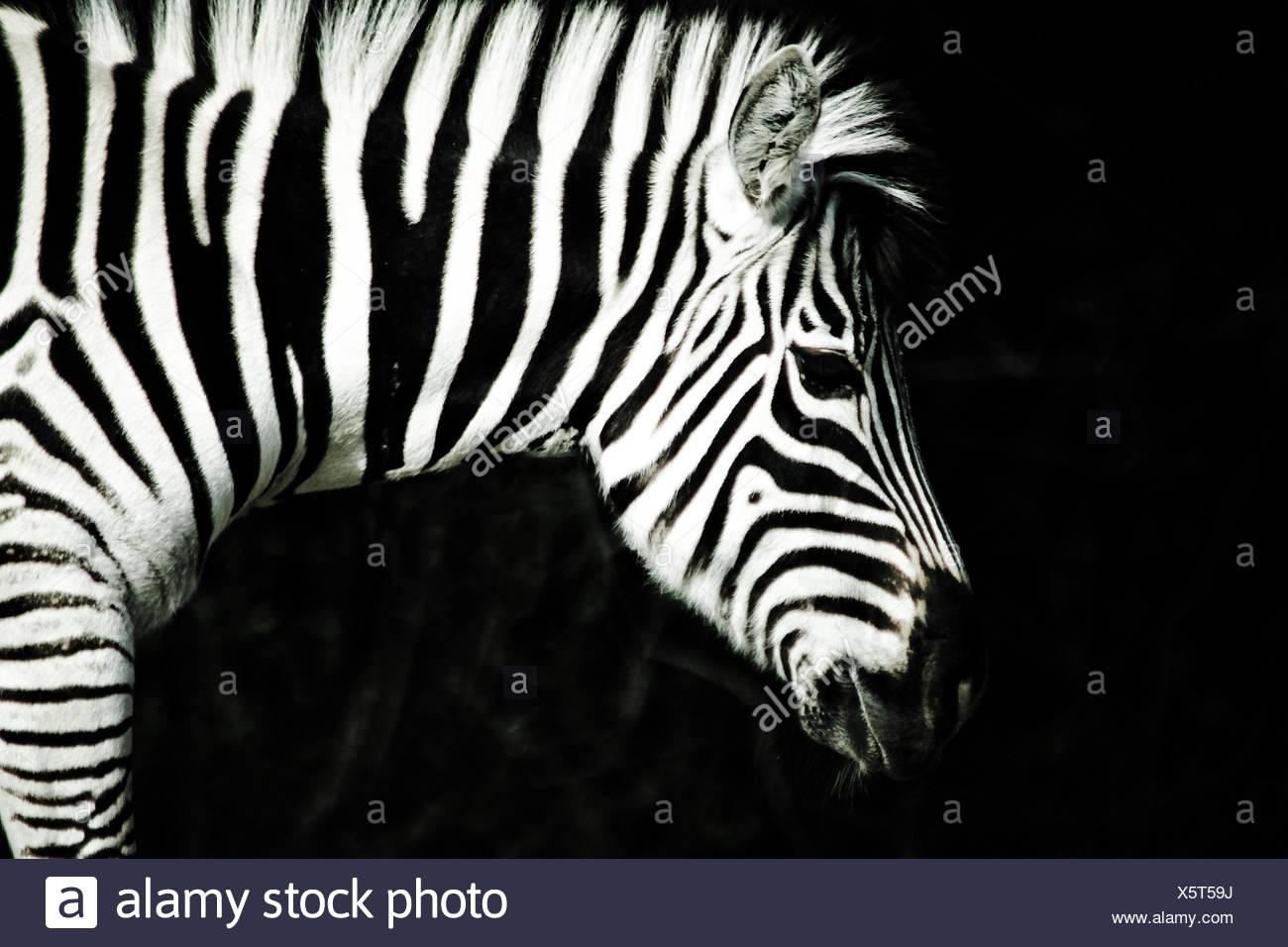 Primer plano de cebra en el bosque tropical en la noche Imagen De Stock