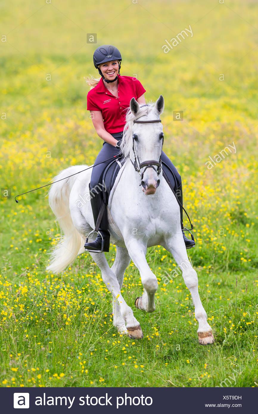 Gris caballo castrado Lipizzan rider floración galopante meadow Alemania Imagen De Stock