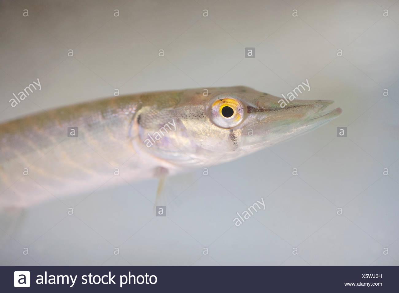 Retrato de un joven Pike, joven pikes lucen muy parecida a la de los adultos Imagen De Stock
