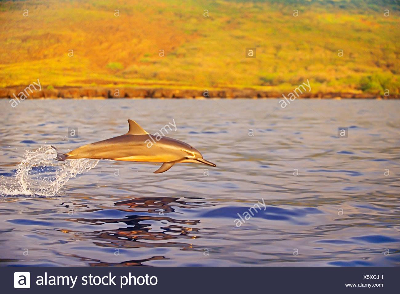 Larga snouted Delfines ternero Porpoising Foto de stock
