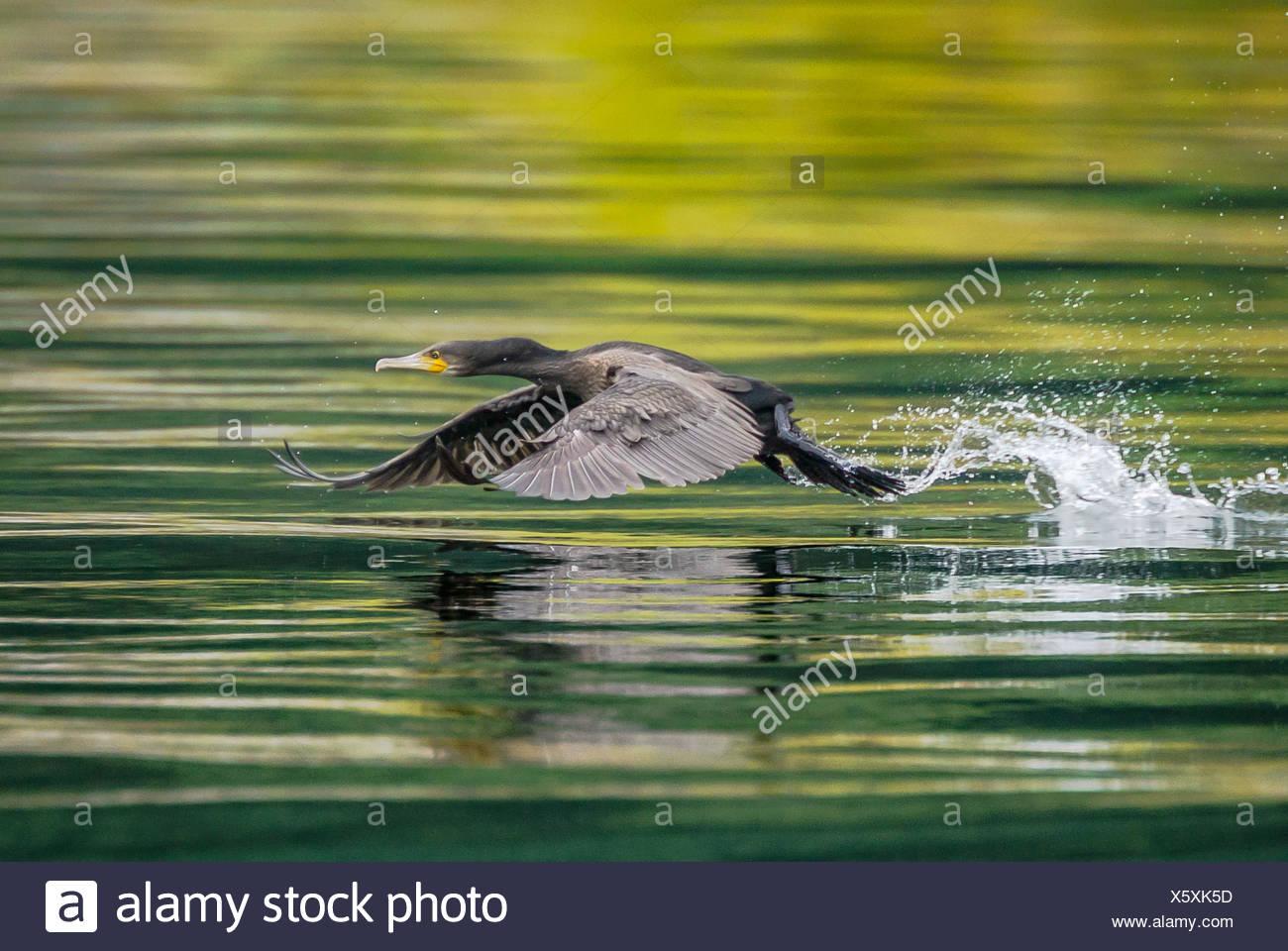 Pájaro volando a baja altura sobre el agua Imagen De Stock