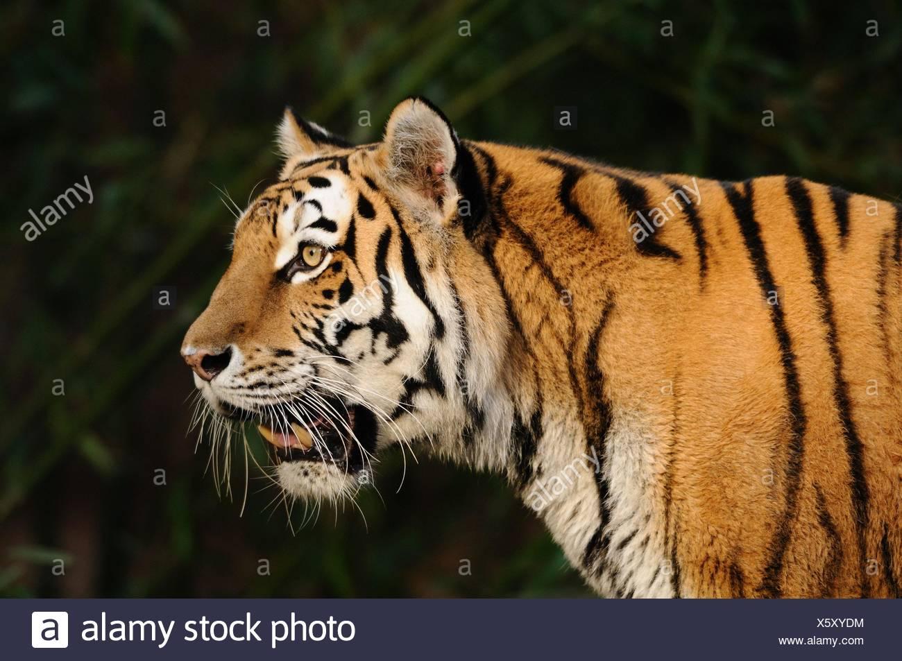 Retrato de tigre Imagen De Stock
