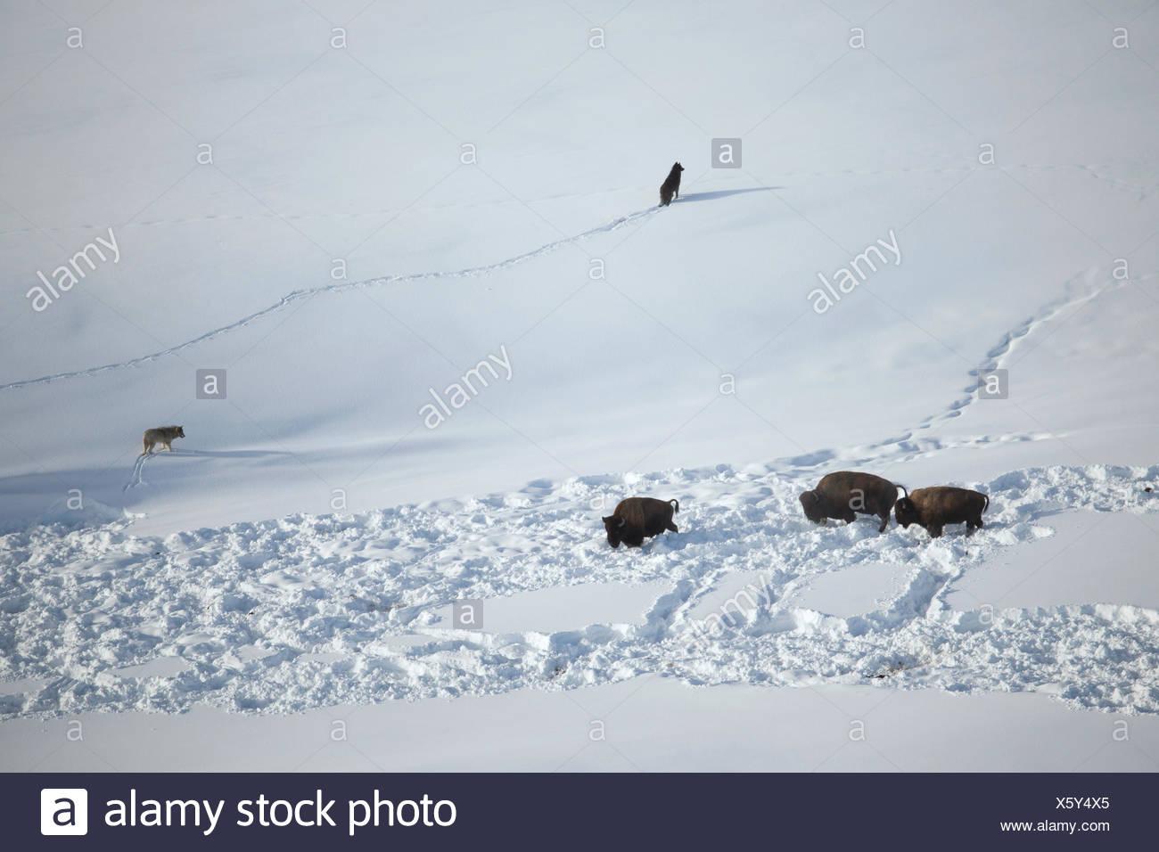 Los lobos grises del Mollie's Pack enfrentar los bisontes. Imagen De Stock