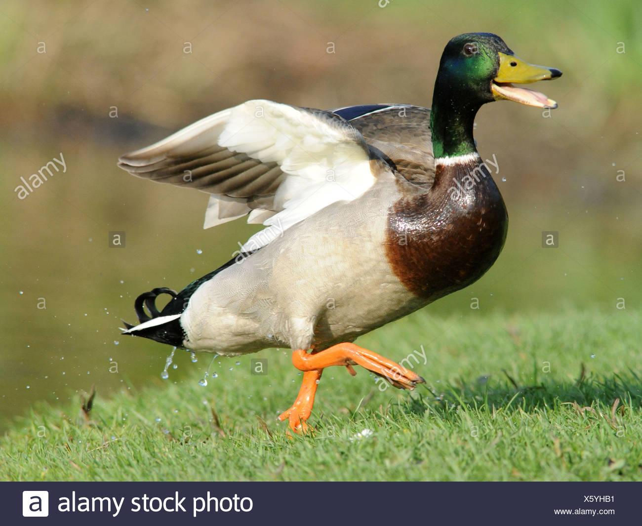 Un pato muy feliz, sonriendo un pato. Imagen De Stock