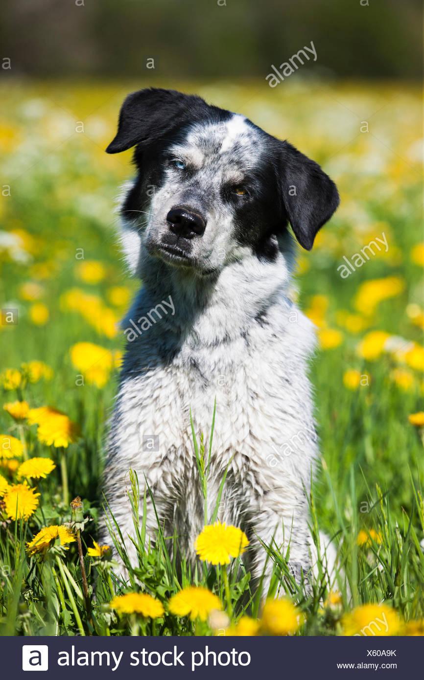 Husky Münsterländer Labrador de raza mixta del perro, perro blanco y negro sentado en un prado de diente de león, Austria Imagen De Stock