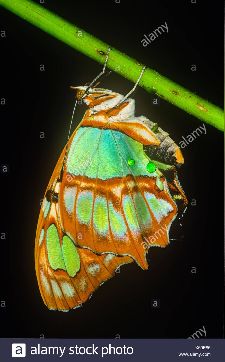 (Spiroeta stelens biplagiata) Malaquita Butterfly. Vista ventral, Costa Rica Foto de stock