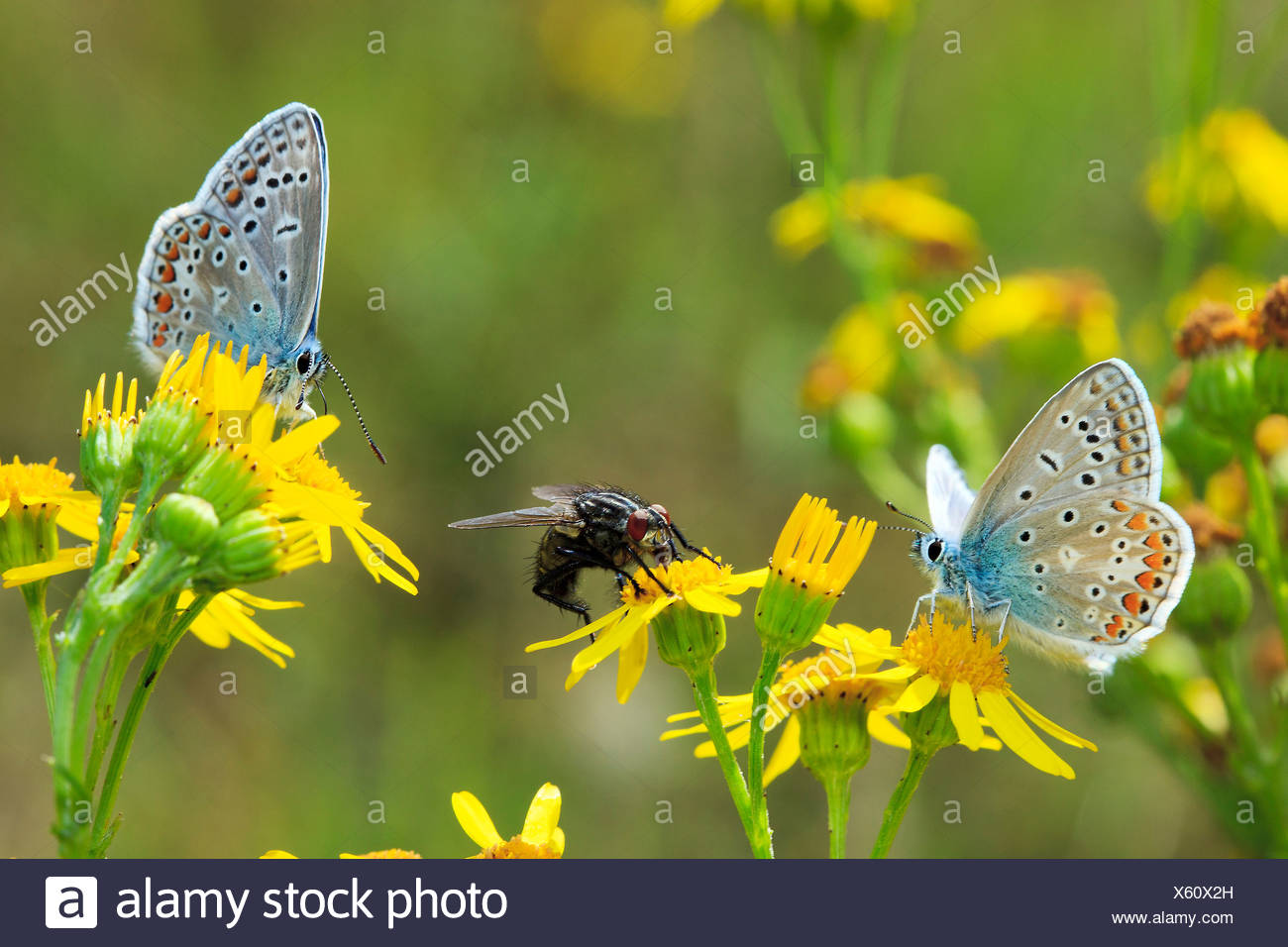 Los Blues en común blossom / Polyommatus icarus Imagen De Stock
