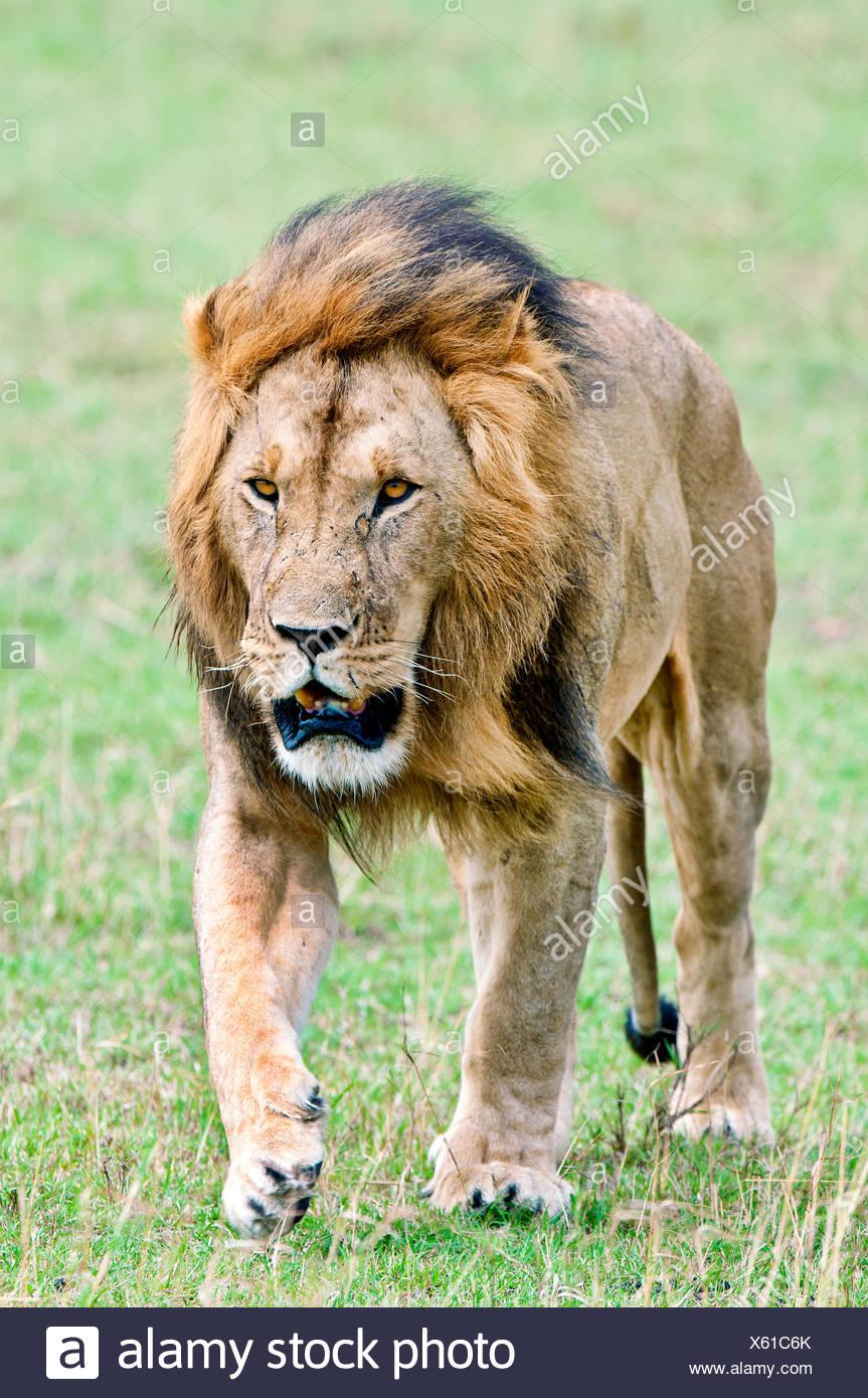 Macho león africano (Panthera leo), la reserva Masai Mara, Kenia, África Oriental Imagen De Stock