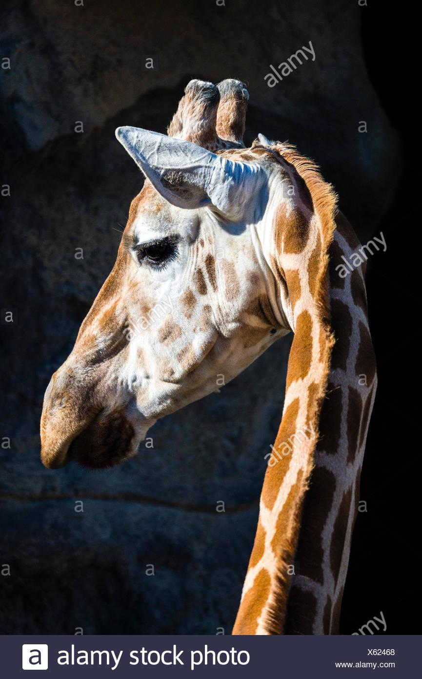 Una jirafa gira su cabeza sobre su cuello largo para escuchar con sus oídos alerta. Imagen De Stock