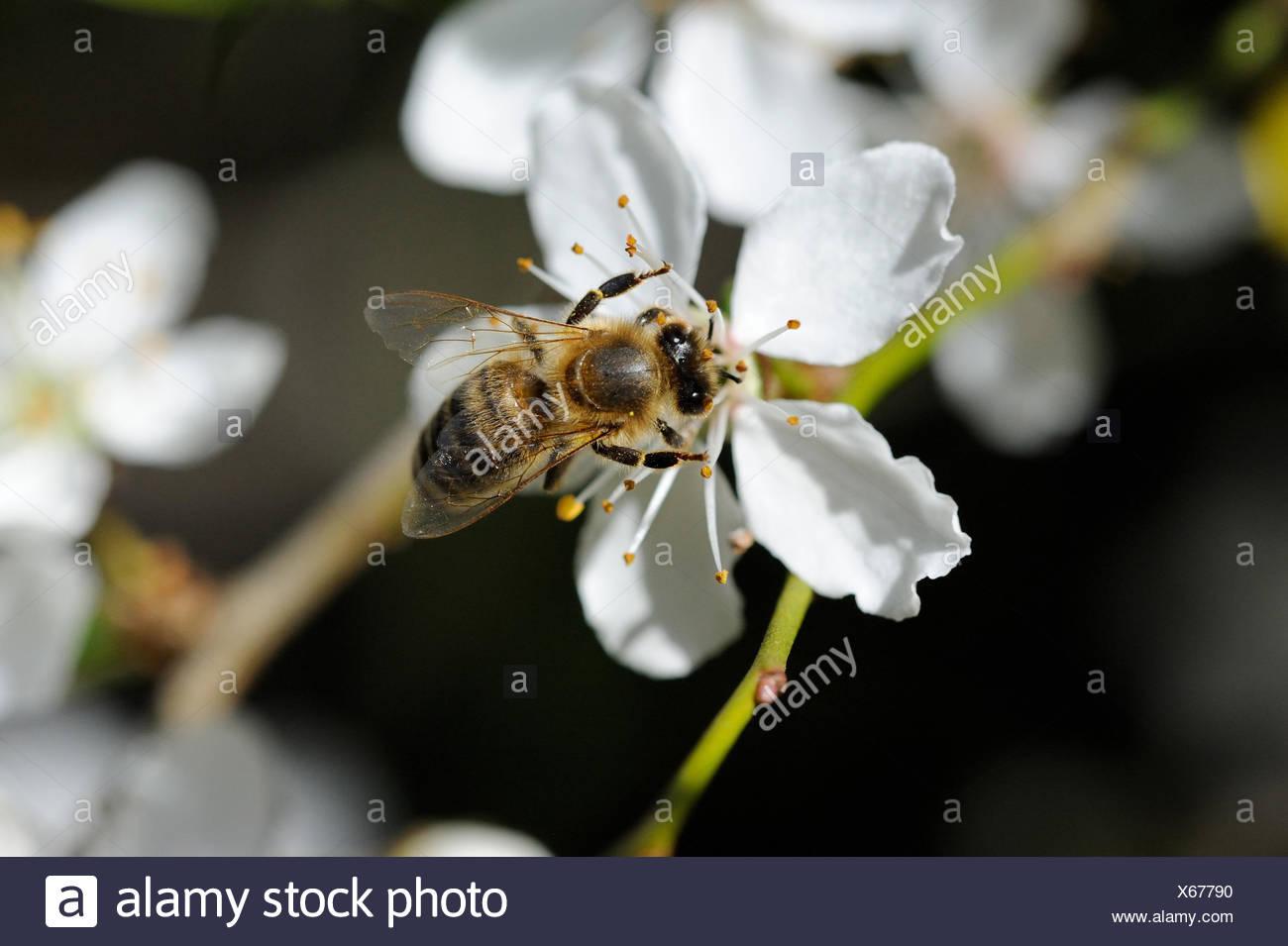 Flores, primavera, árboles en flor, flores, brotes tiernos, fruta, flores, pétalos de flores, árboles, en el oeste de la abeja Apis mellifera Imagen De Stock
