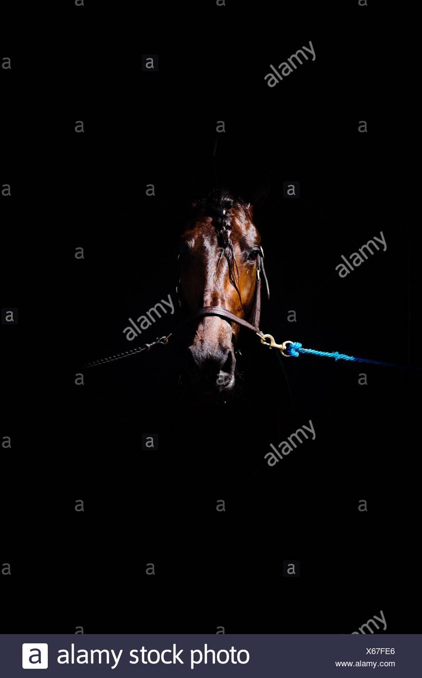 Primer plano del caballo marrón atadas contra fondo negro Foto de stock