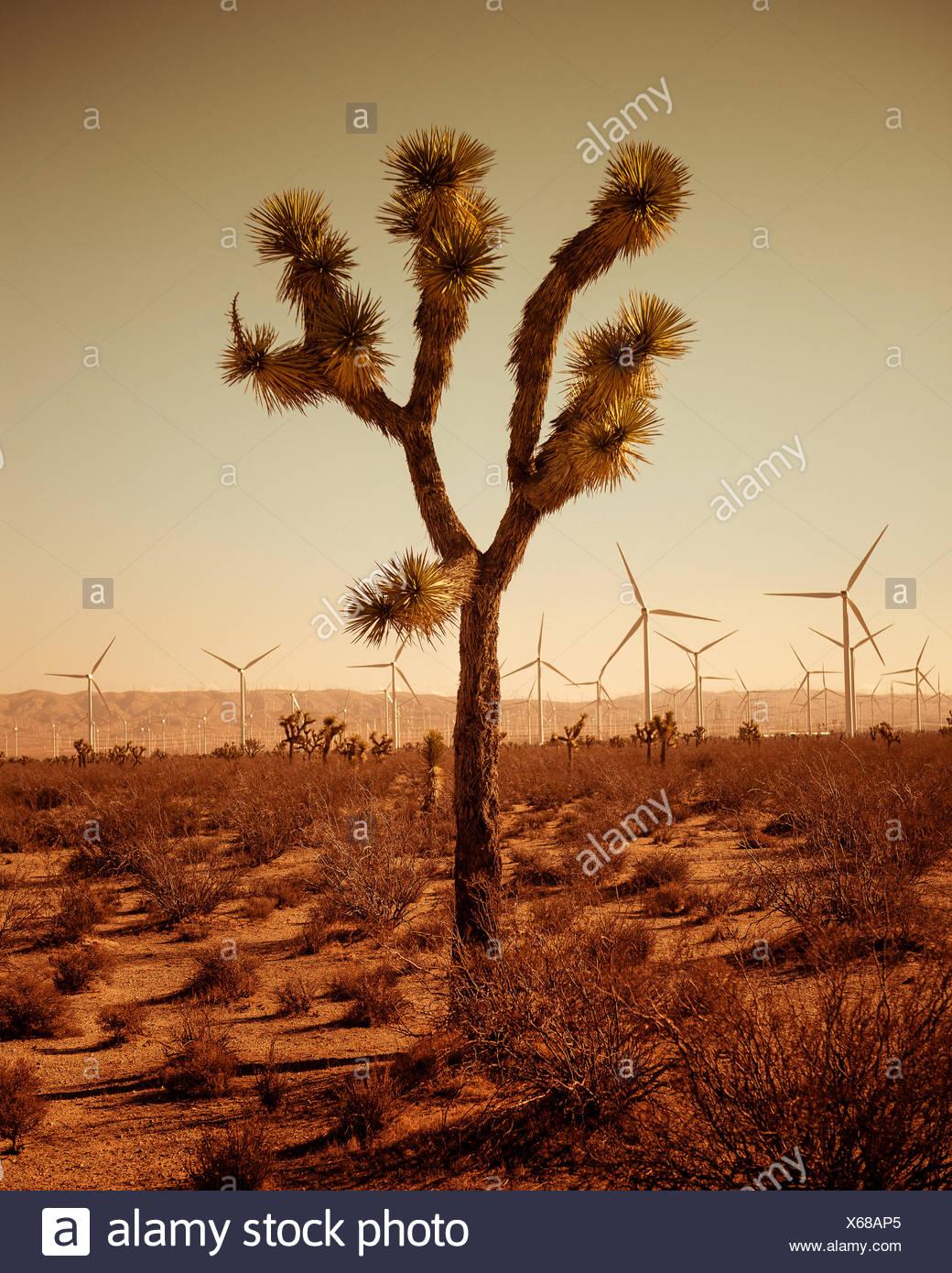 Único árbol del desierto, las turbinas eólicas en segundo plano. Imagen De Stock