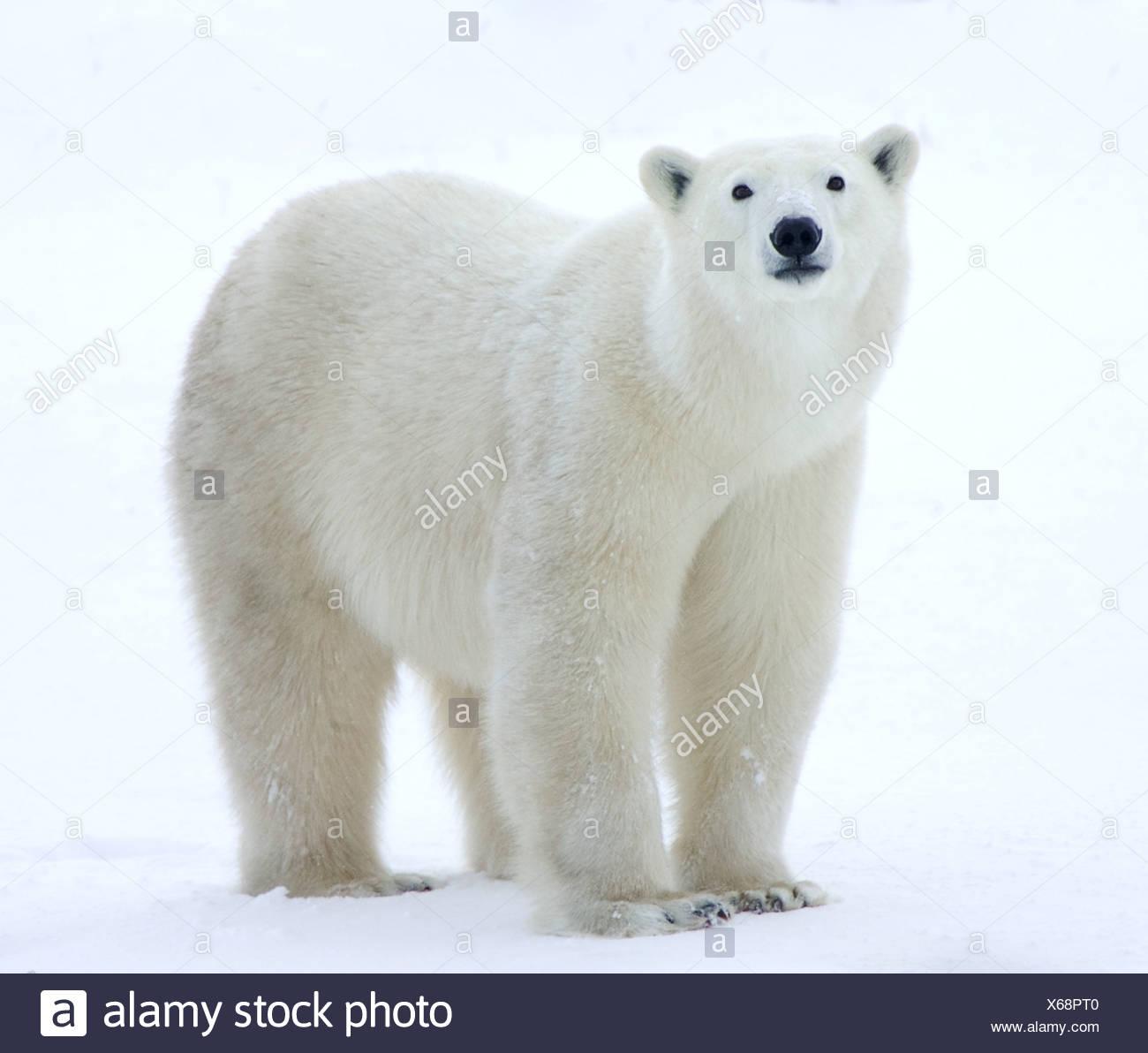 Oso Polar en el campo permanente Imagen De Stock