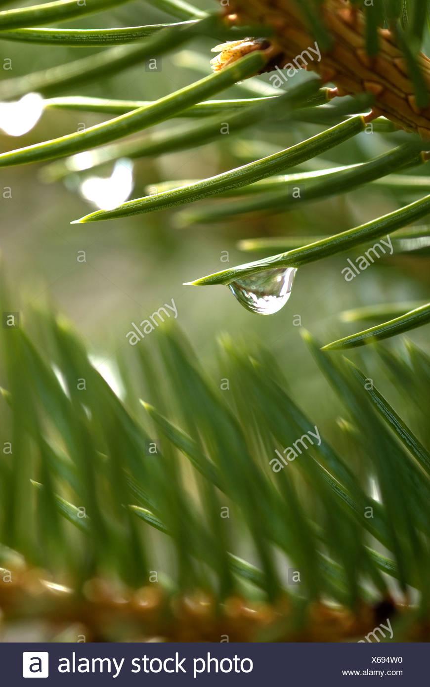 Cerca de gota de agua pura en agujas de pino Imagen De Stock