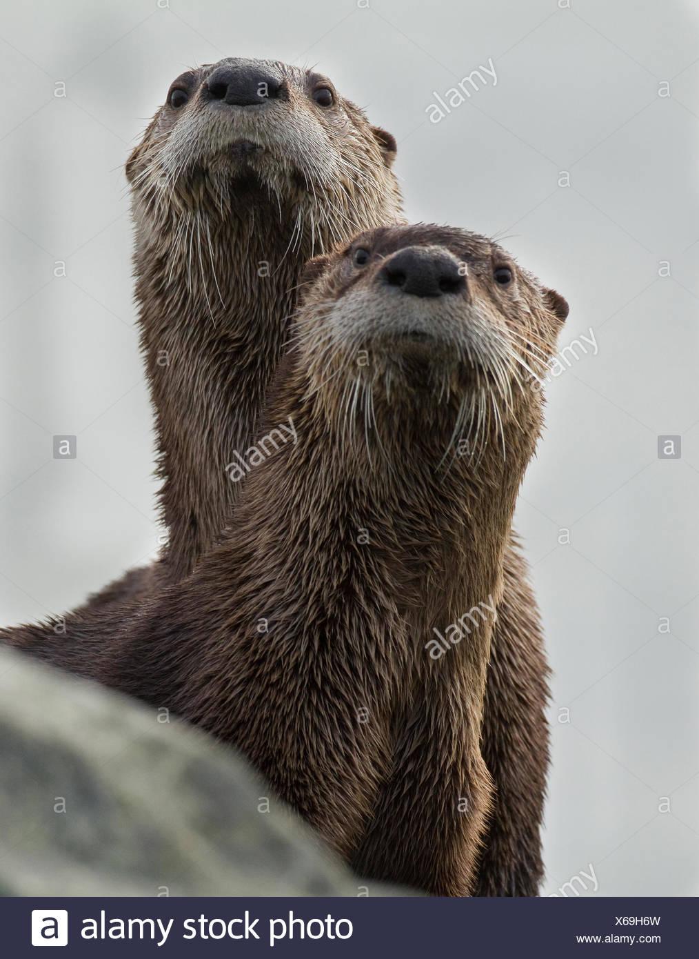 La nutria de río norteamericana, Lontra canadensis, Victoria, BC, Canadá Foto de stock