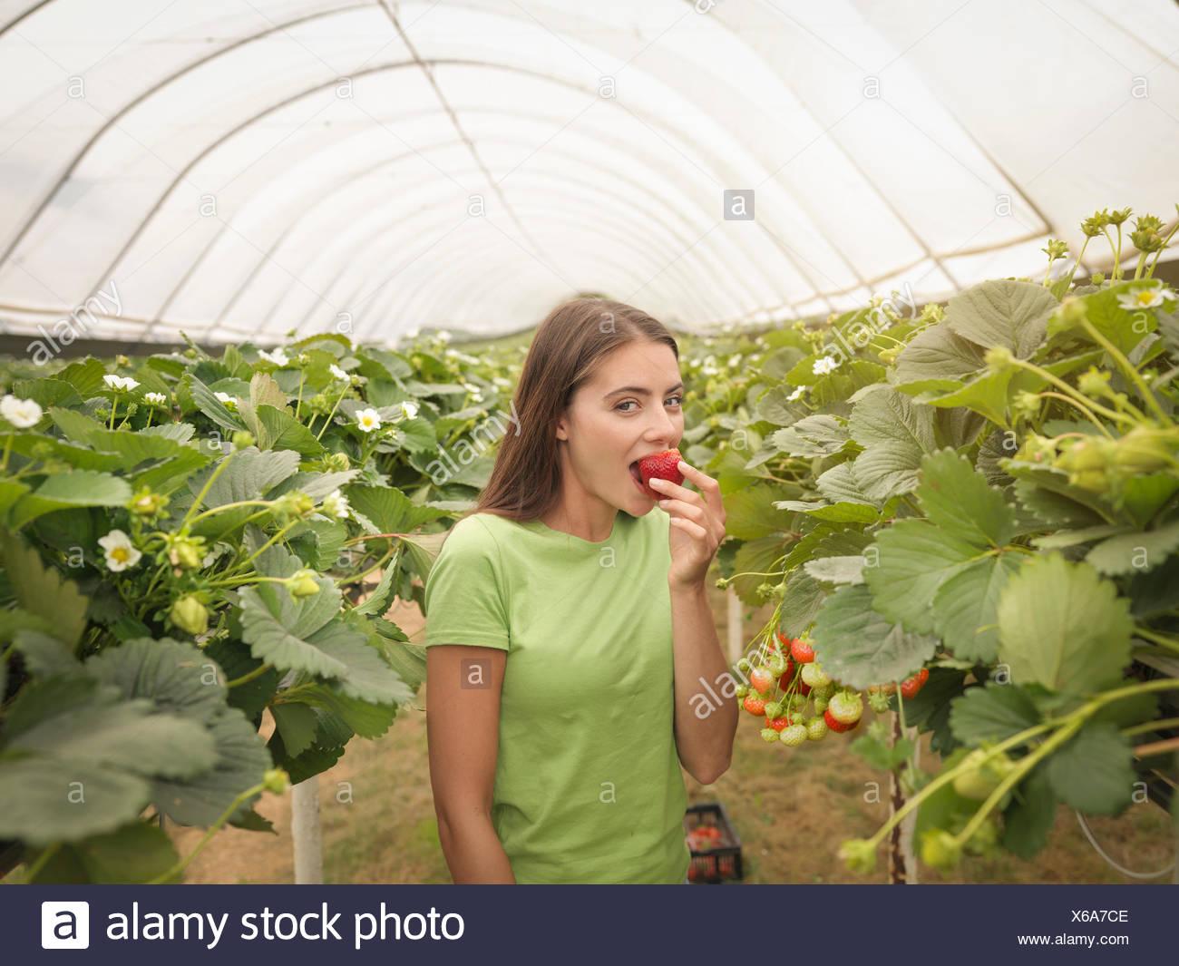 Retrato de selector de Fresa Fresa en polytunnel comer fruta en la granja Imagen De Stock