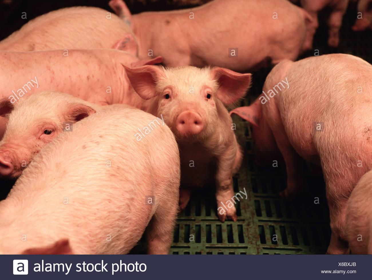 Ganadería - Cerdos en un cerdo una instalación de confinamiento vivero poco después del destete / Iowa, EE.UU. Foto de stock