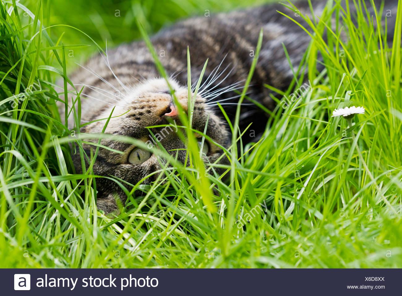 Alemania, Baviera, European Shorthair gato tumbado sobre pradera Imagen De Stock