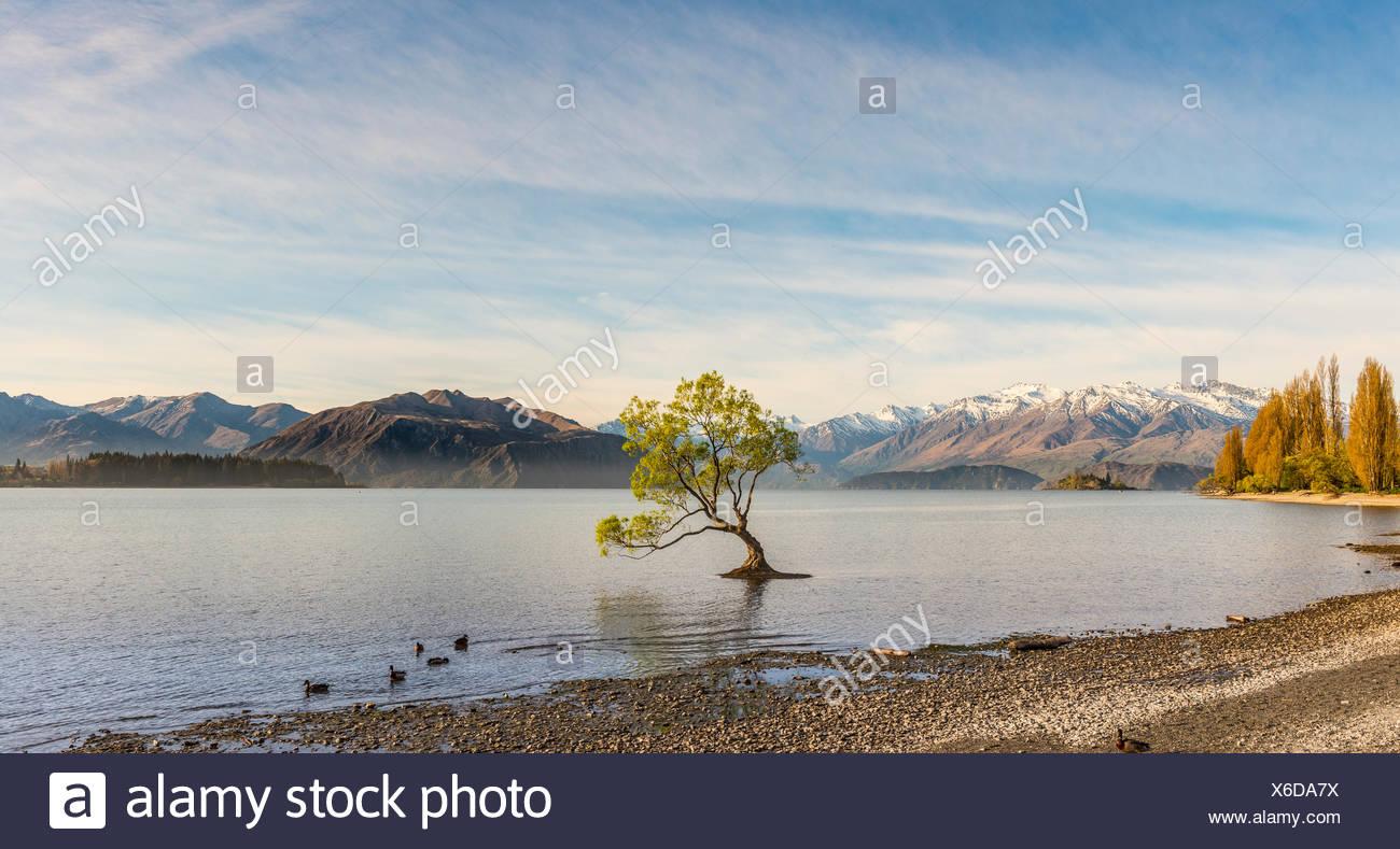 Único árbol de pie en el agua, el árbol, el Lago Wanaka Wanaka, Roy, la bahía de Otago, Southland, Nueva Zelanda Imagen De Stock