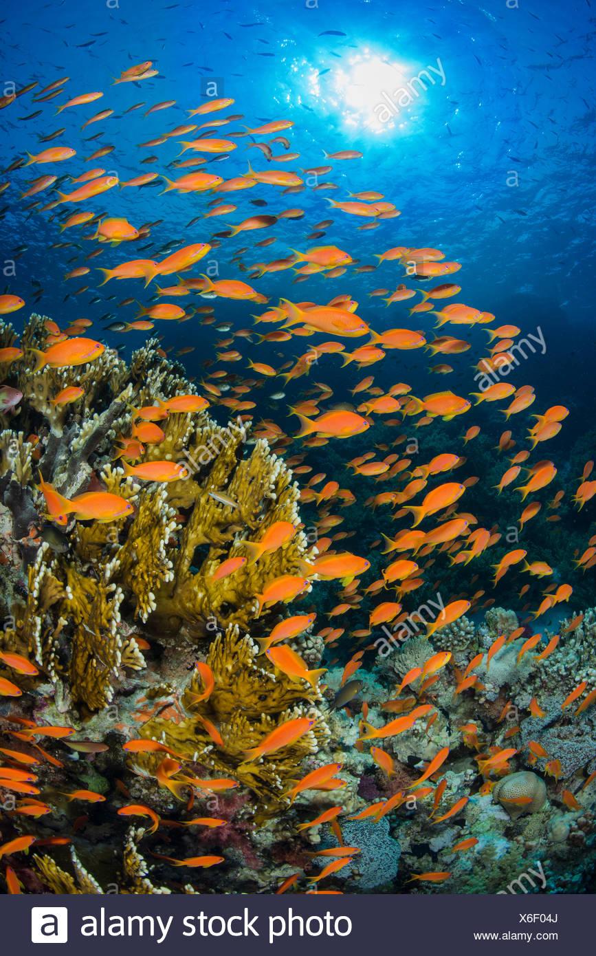 Vibrante escena de arrecifes del Mar Rojo, con hembra naranja Scalefin anthias (Pseudanthias squamipinnis) swarming delante del coral de fuego (Millepora dichotoma) alimentándose de plancton traído al arrecife por corrientes. El Parque Marino de Ras Mohammed, el Sinaí, Egipto. Imagen De Stock