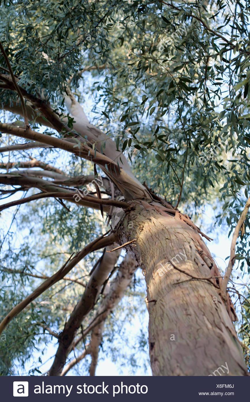 Archeri eucalipto Imagen De Stock