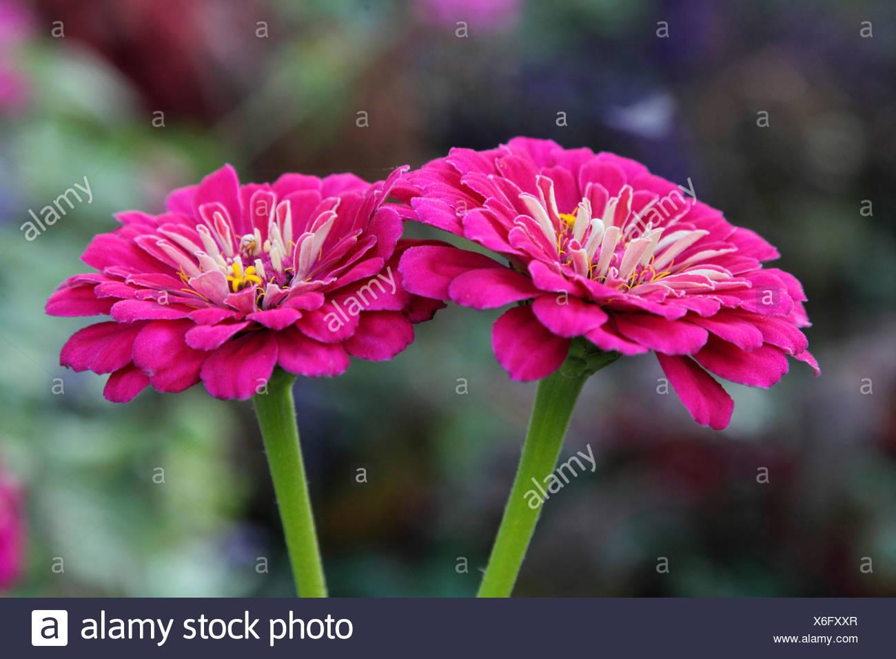 Zinnia, jóvenes y viejos, Common_age (Zinnia Zinnia spec.), floreciendo Foto de stock