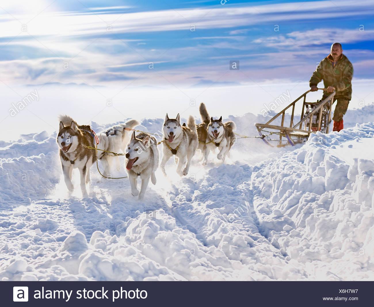 Raza del trineo del perro Imagen De Stock