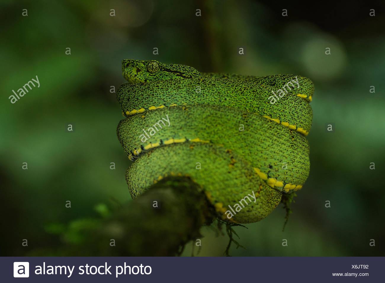 Un pit viper arbórea en la Reserva de la Biosfera del Manu. Foto de stock