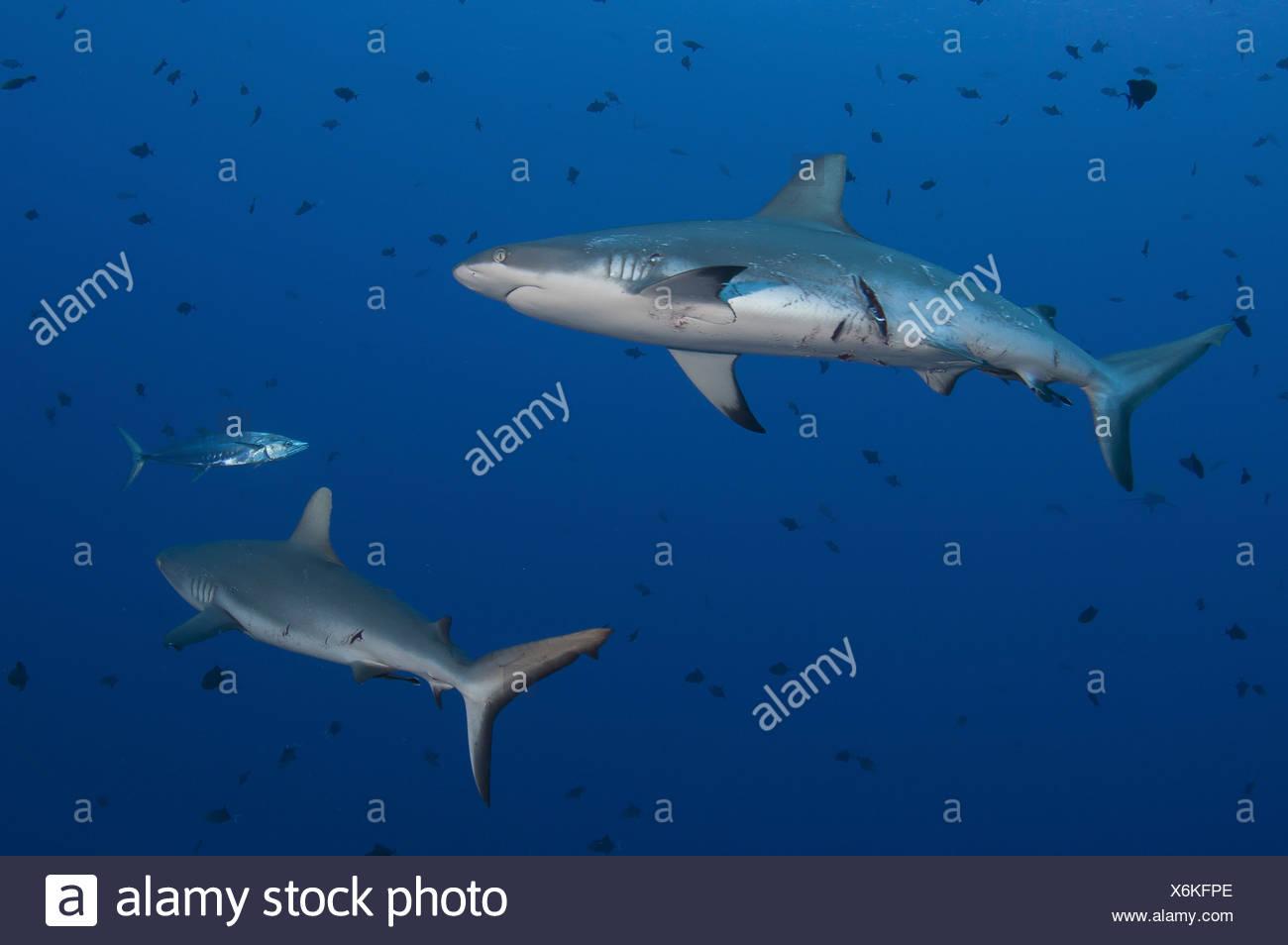 Tiburones de arrecife gris herido por el apareamiento (Carcharhinus amblyrhynchos) Imagen De Stock