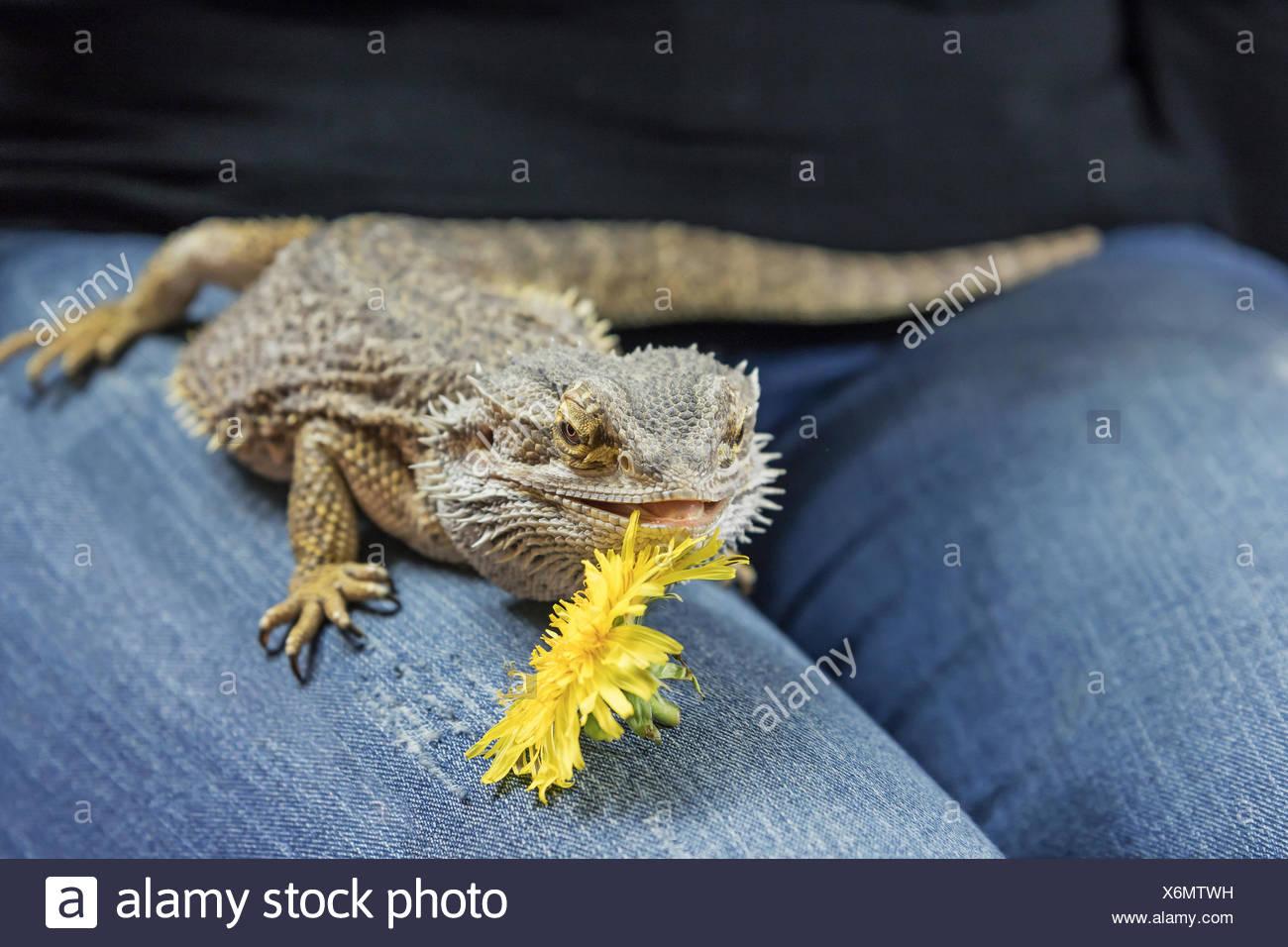 Agama lagarto jaramago en el regazo femenino Foto de stock