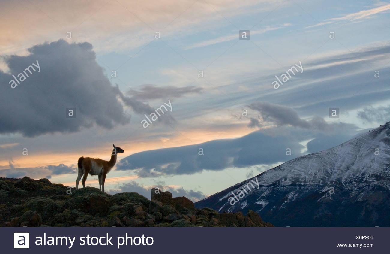Guanaco en la puesta de sol sobre las montañas de las Torres del Paine, Chile (Lama guanico) Foto de stock