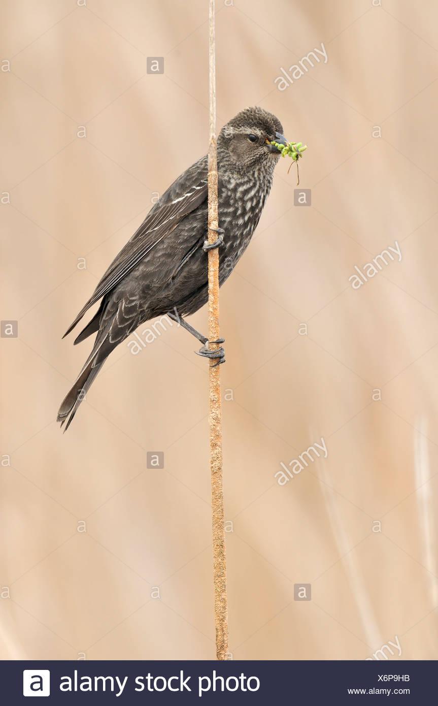 Tri-color mirlo (Agelaius tricolor) posado sobre reed en Marsh nido, Condado de Kern, California, EE.UU. Imagen De Stock
