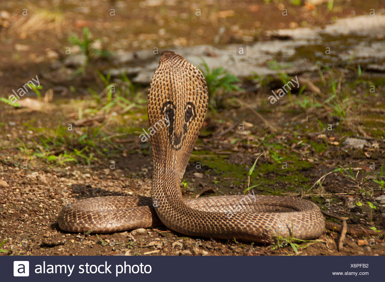 La cobra india (Naja naja), también conocido como el oso cobra, cobra o asiáticos binocellate cobra, india Foto de stock