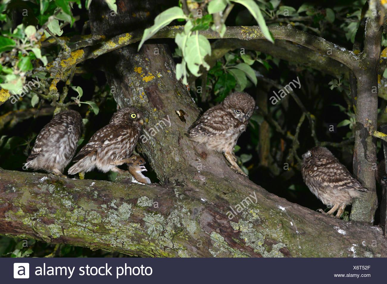 Pequeño Búho (Athene noctua) adulto (2. de la derecha) ofrece un ratón a los tres sólo unfledged chick incluso en la copa de un Appletree Imagen De Stock