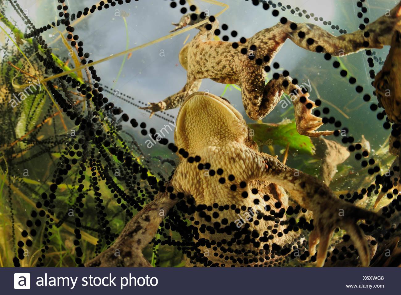 Par de sapos común europeo (Bufo bufo) con cadenas de toadspawn, en el estanque, Alemania Imagen De Stock