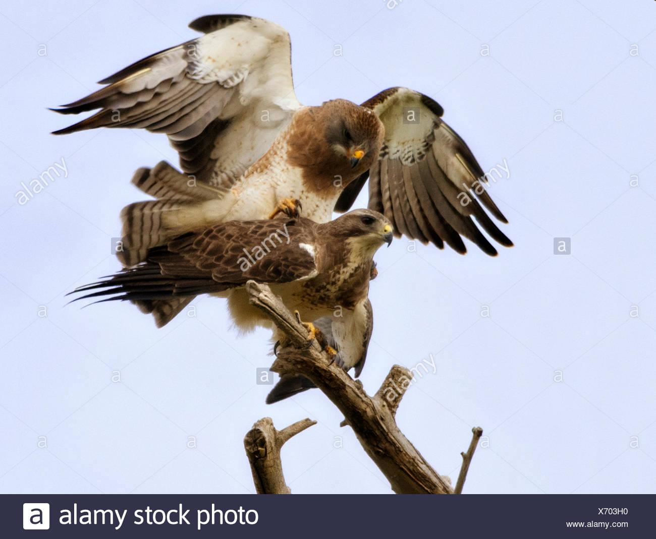 Ee.Uu., Colorado, halcones de acoplamiento Imagen De Stock