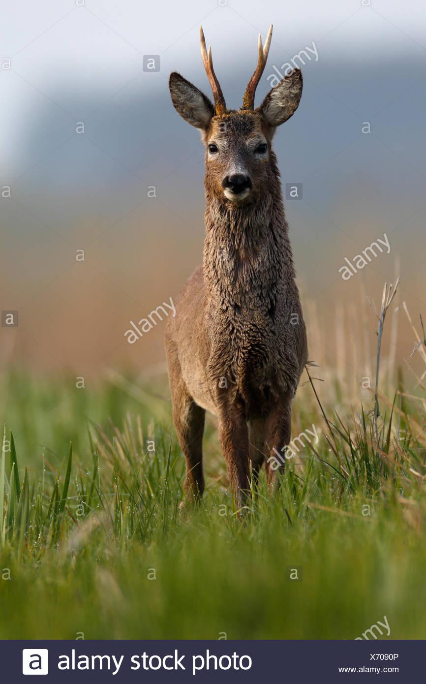 Unión corzo (Capreolus capreolus), Buck en un prado, cambio de abrigo, abrigo de invierno y de verano, Parque Natural Peental Foto de stock