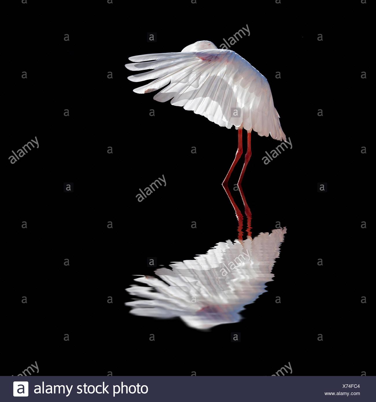 Reflejo de un pájaro blanco en agua con fondo negro Foto de stock