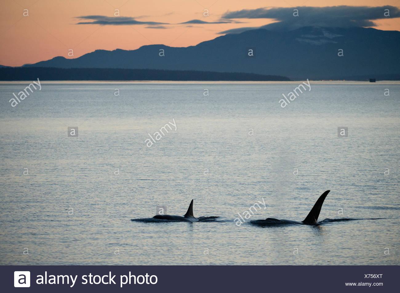 Dos ballenas asesinas en el pasaje interior, British Columbia, Canadá. Imagen De Stock