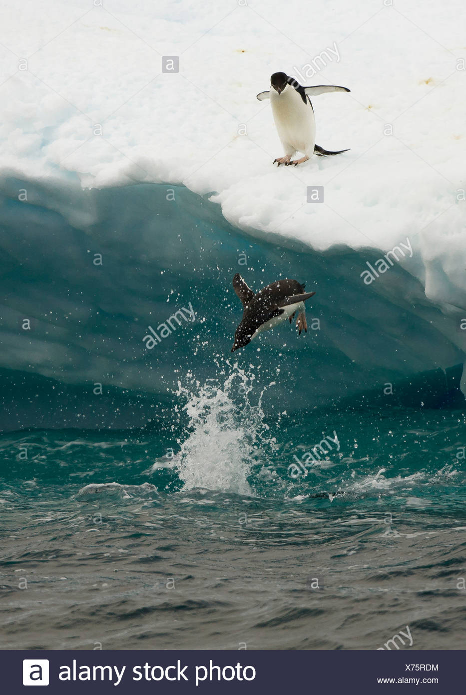 Pingüinos Adelie diving off témpano, Isla Paulet, Península Antártica Imagen De Stock