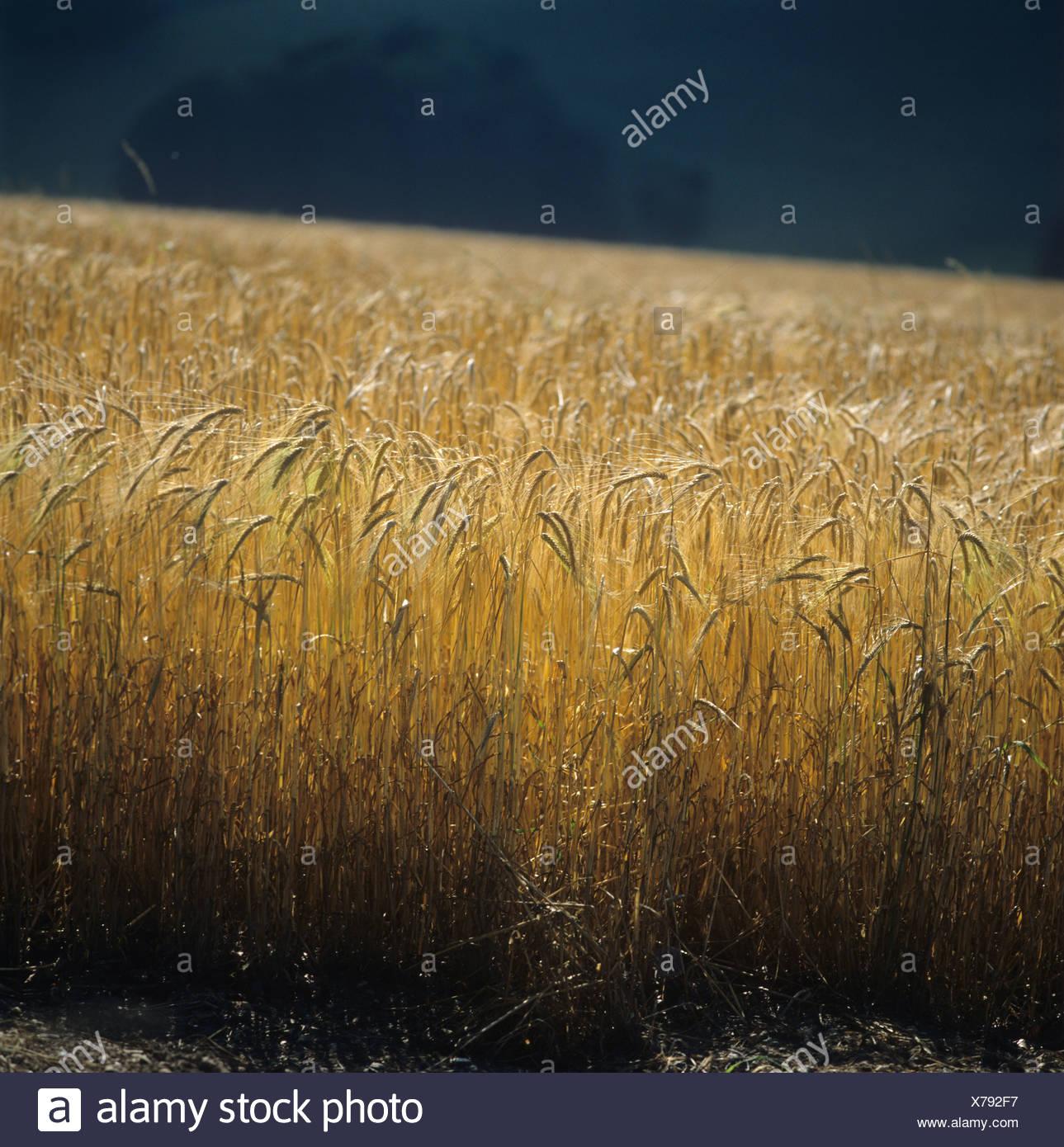 Contre Jour de cebada madura oídos contra un fondo oscuro Imagen De Stock