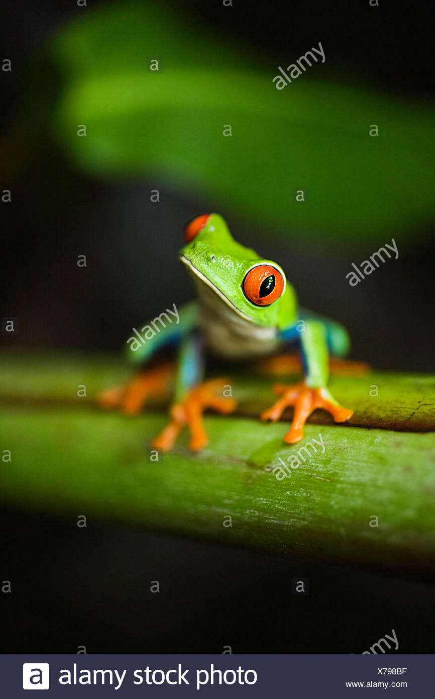 Red-eyed Tree Frog en costa rica Imagen De Stock