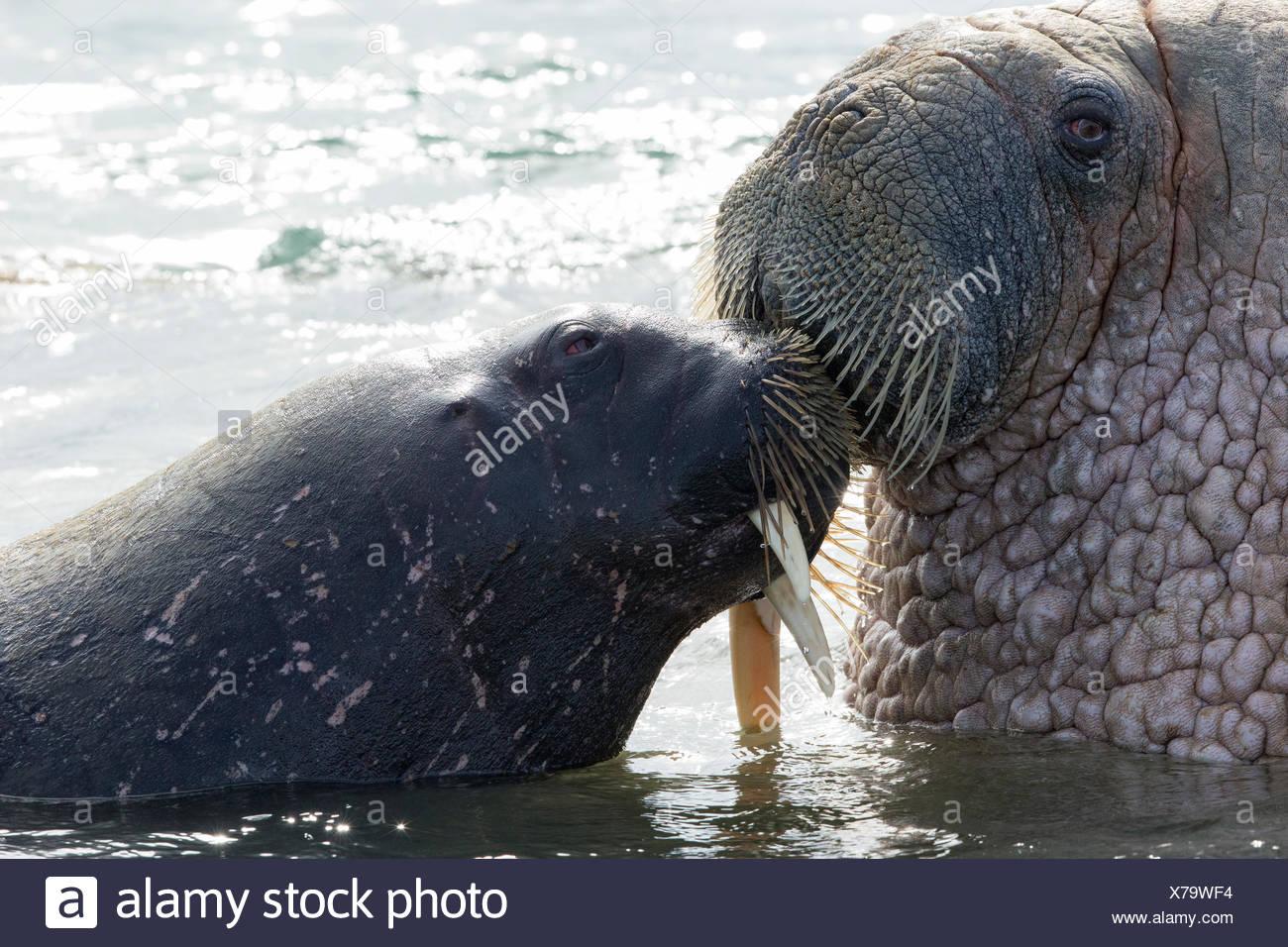 La morsa del Atlántico (Odobenus rosmarus rosmarus), (uno con un colmillo roto), besar, cabecera, Edgeøya Andréetangen (Edge), isla Imagen De Stock