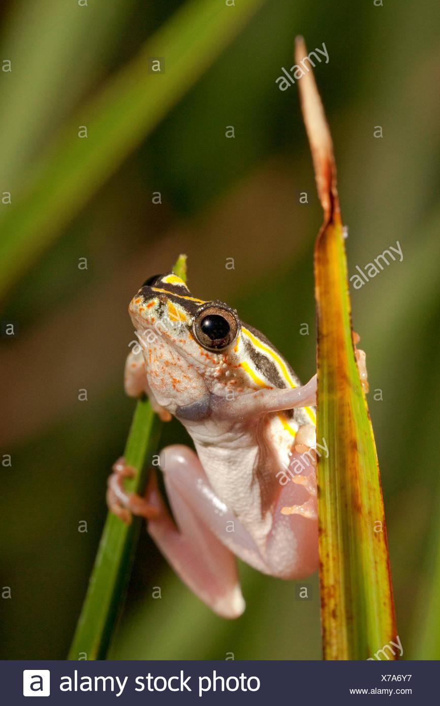 Foto van een rietkikker op een stengel; foto de una rana en láminas pintadas de una hierba; Imagen De Stock