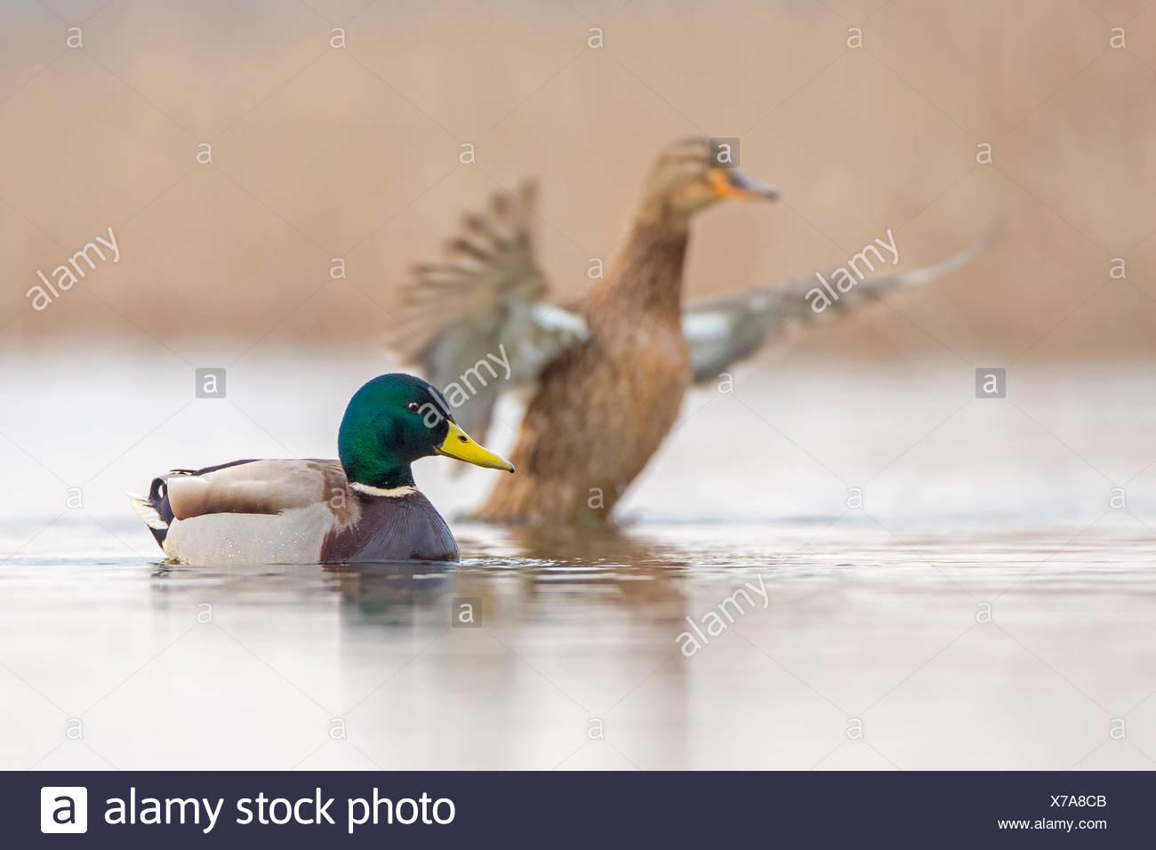 Pato salvaje o el ánade real (Anas platyrhynchos) Pareja, oriente el Elba, en el Estado federado de Sajonia-Anhalt, Alemania Imagen De Stock