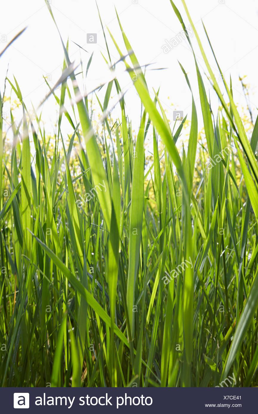 Briznas de hierba en la luz del sol Foto de stock