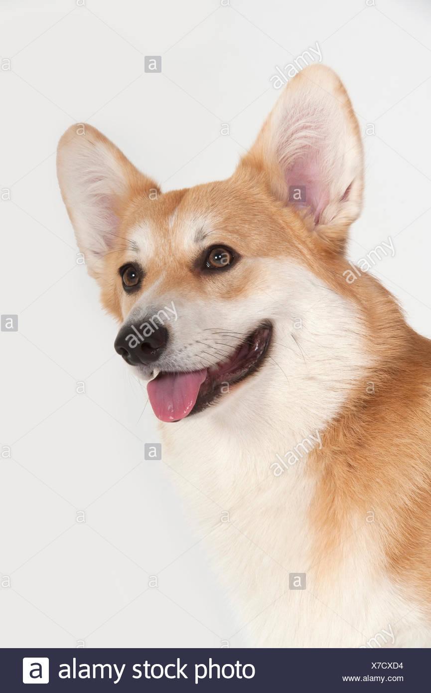 Welsh Corgi pembroke) (cabeza de perro, estudio, studio, fondo blanco. Foto de stock