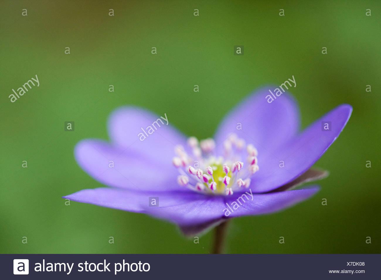 Tres lóbulos o comunes Kidneywort hepatica (Hepatica nobilis) Foto de stock