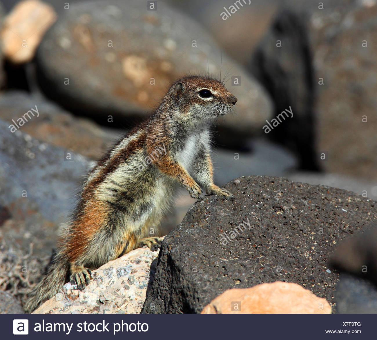 Suslik barbary, del norte de África suslik (Atlantoxerus getulus), escalada sobre piedras, Islas Canarias, Fuerteventura. Imagen De Stock